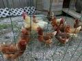 How many hans are on the farm? :)